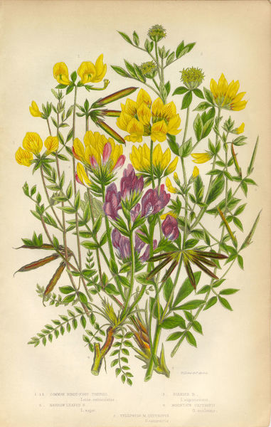 Very Rare, Beautifully Illustrated Antique Engraved Botanical Illustration of Trefoil and Oxytropis, Legume, from The Flowering Plants and Ferns of Great Britain, Published in 1846. Copyright has expired on this artwork. Digitally restored
