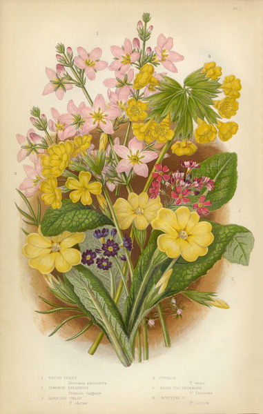 Very Rare, Beautifully Illustrated Antique Engraved Violet, Primrose, Oenothera, Evening Primrose, Oxlip, Lady's-slipper orchid, Cowslip, Victorian Botanical Illustration, from The Flowering Plants and Ferns of Great Britain, Published in 1846