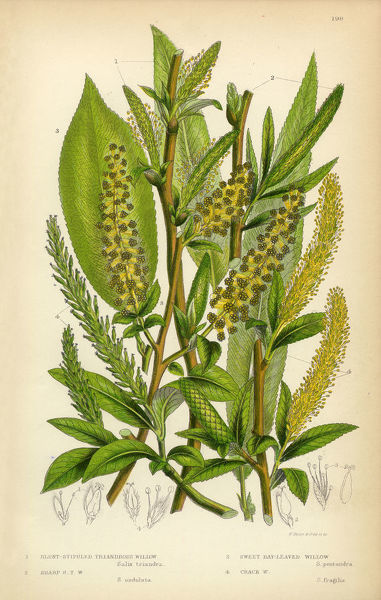 Very Rare, Beautifully Illustrated Antique Engraved Willow, Bay-Leaved Willow, Purple Willow, Osier, Sallow, Victorian Botanical Illustration, from The Flowering Plants and Ferns of Great Britain, Published in 1846. Copyright has expired on this artwork