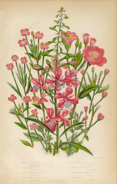 Very Rare, Beautifully Illustrated Antique Engraved Botanical Illustration of Willow Herb, Bay Leaf and Chickweed, Victorian Botanical Illustration, from The Flowering Plants and Ferns of Great Britain, Published in 1846. Copyright has expired on this artwork