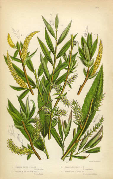 Very Rare, Beautifully Illustrated Antique Engraved Willow, White Willow, Yellow Osier, Osier, Sallow, Victorian Botanical Illustration, from The Flowering Plants and Ferns of Great Britain, Published in 1846. Copyright has expired on this artwork
