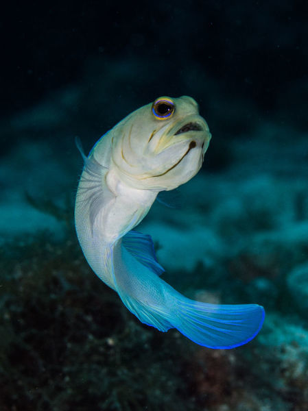 A yellowheaded jawfish with eggs in its mouth poses