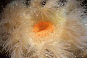 Metridium Anemone (Metridium farcimen), close-up