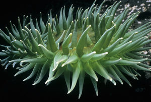 Giant Green Anemone (Anthopleura xanthogrammica), close-up