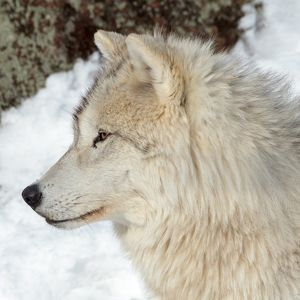adult arctic wolf