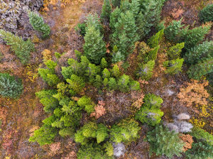Aerial view of Pine Trees in the Autumn