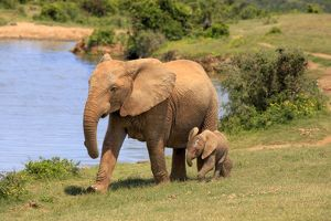 African Elephants -Loxodonta africana-, adult female with young by the water, Addo