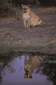 African Lioness (Panthera leo) at dusk reflected in water, Okvango Delta
