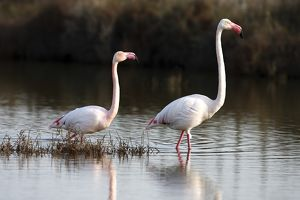 American flamingo -Phoenicopterus ruber-, couple wading through shallow water, Camargue