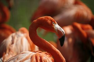 nature wildlife/flamingo wading bird/american flamingo phoenicopterus ruber captive