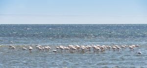 American Flamingoes -Phoenicopterus ruber-, Lesser Flamingoes -Phoeniconaias minor- in Walvis Bay