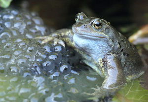Close-Up Of Frog With Eggs In Water