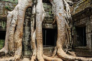 Old Buddhist monastery with large tree roots growing on roof,Cambodia