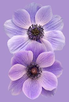 Anemones on a purple background
