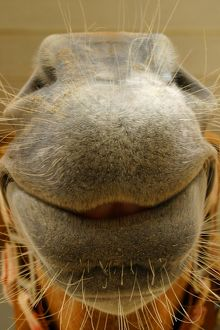 Close-up image of a horse's nose and it's smiling!