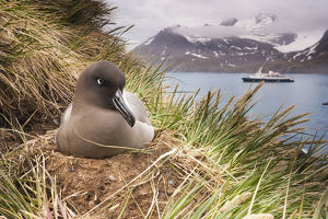 Light-mantled albatross on a cliff top nest, on South Georgia Island in the Falklands.