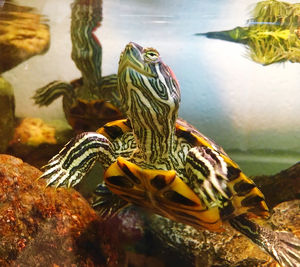 Close-Up Of Turtles Swimming In Fish Tank