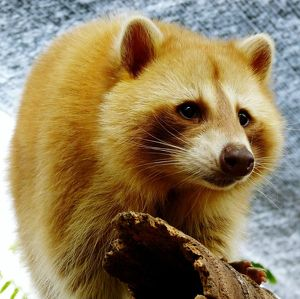 Close-Up Of Red Panda With Log