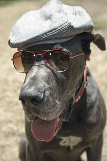 Great Dane wearing hat and sunglasses