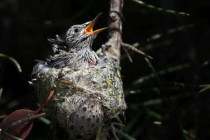 Anna's Hummingbird chicks