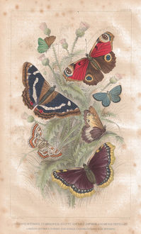 Butterfly old lithographic print from 1852