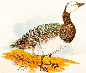 Antique children book illustrations: Goose