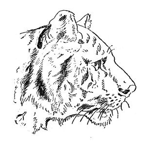 Antique children's book comic illustration: Tiger profile