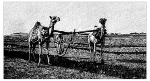 Antique children's book comic illustration: camels working on field