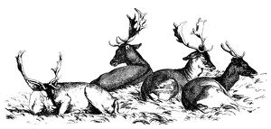 Antique illustration of four deer sitting on the grass