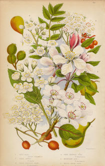 Apple, Pear, Service and Ash Trees, Victorian Botanical Illustration