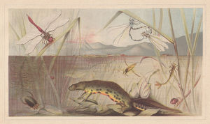 Aquatic insects, lithograph, published in 1868