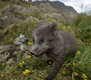 Arctic fox in meadow in Iceland