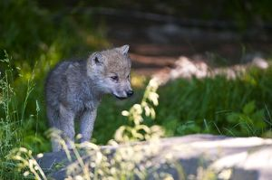 Arctic wolf pup