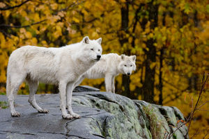 Arctic Wolves On Rocks