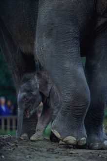 ASIAN ELEPHANTS (ELEPHAS MAXIMUS), MOTHER AND BABY, SEATTLE, USA