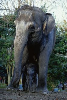ASIAN ELEPHANTS (ELEPHAS MAXIMUS), MOTHER AND BABY