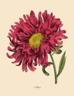 Aster or Star Plant, Victorian Botanical Illustration