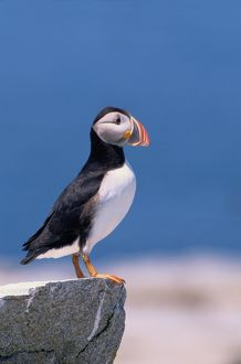 Atlantic puffin (Fratercula arctica) standing on rock