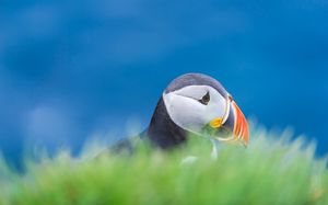 An Atlantic puffin hiding at its nest
