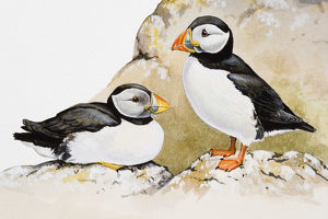 Atlantic puffins (Fratercula arctica), one seated and the other standing, side view