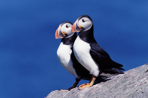 Two atlantic puffins (Fratercula arctica) on cliff