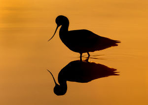 Avocet Silhouetted at Sunrise with Reflection.