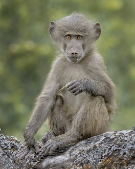 baboon on tree branch
