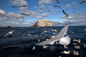 Bass Rock with flock of gannets and seagulls