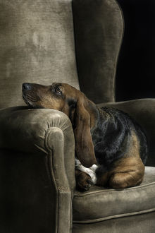 Basset hound portrait in studio