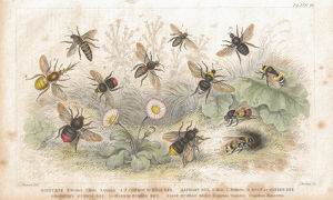 Bees old litho print from 1852