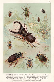 Beetles chromolithography 1888