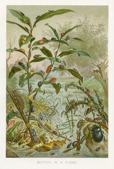 Beetles in a flood chromolithograph 1896