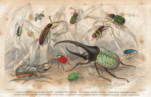 Beetles old litho print from 1852