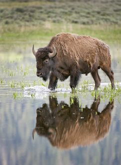 bison in reflecting pond